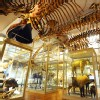 Bos_Att_Harvard_Museum_of_Natural_History