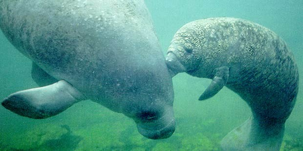 Swim With the Manatees Manatee Adventure